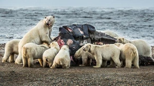 This Is What a Dozen Polar Bears Eating a Whale Carcass Looks Like