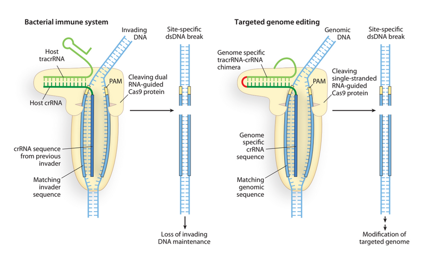 rna and human genome essay In massive genome analysis encode data suggests 'gene' redefinition date: in massive genome analysis encode data suggests 'gene' redefinition rna human genome.