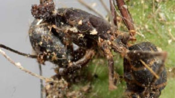 We Need To Talk About Zombie Ants