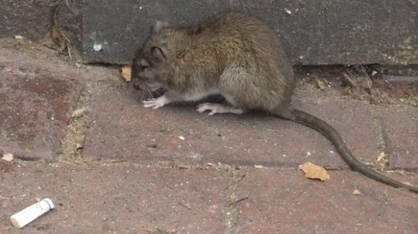 What Happened to NYC's Subway Rats?