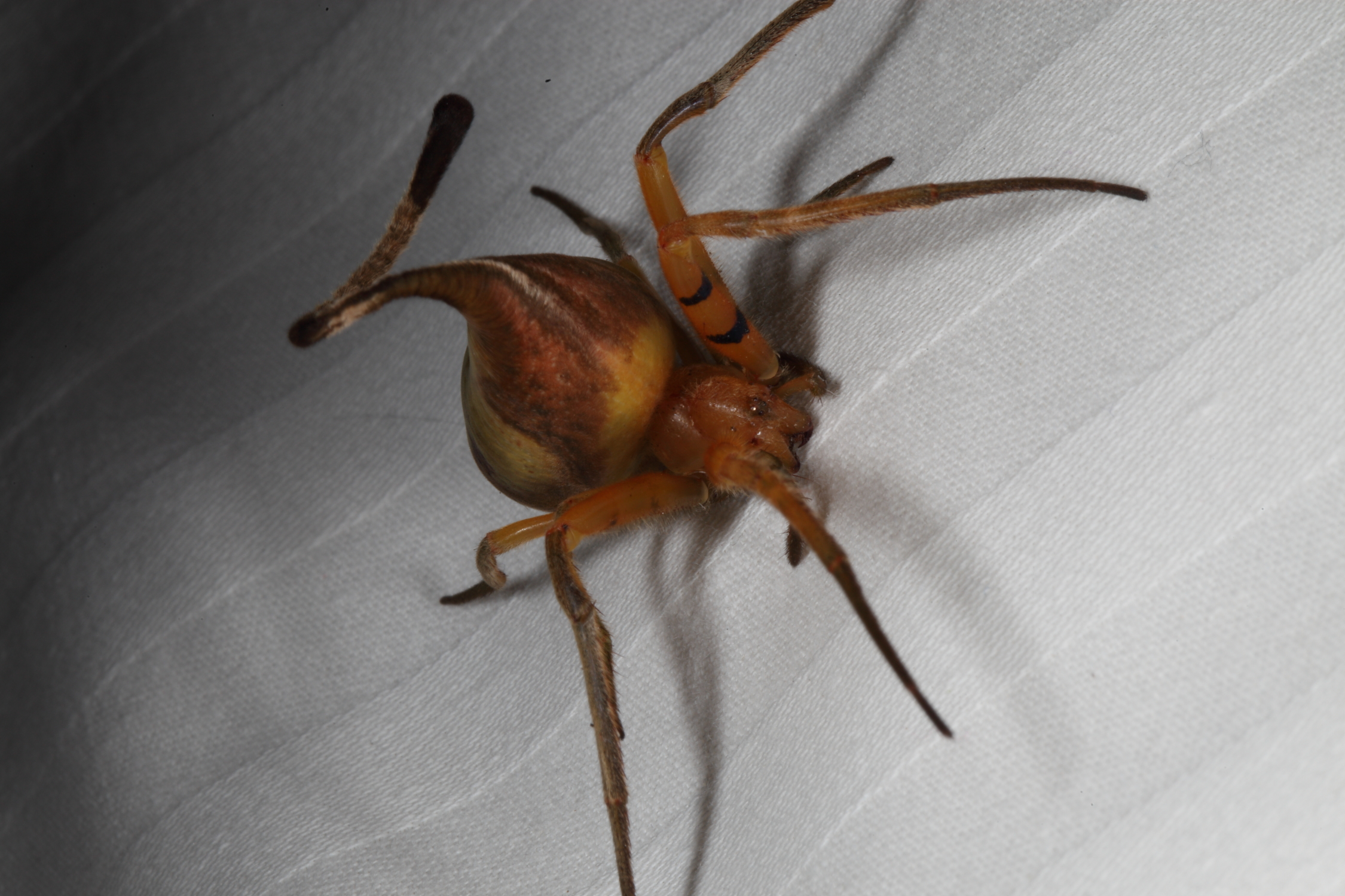 this camouflaging spider will make you forever suspicious of dead