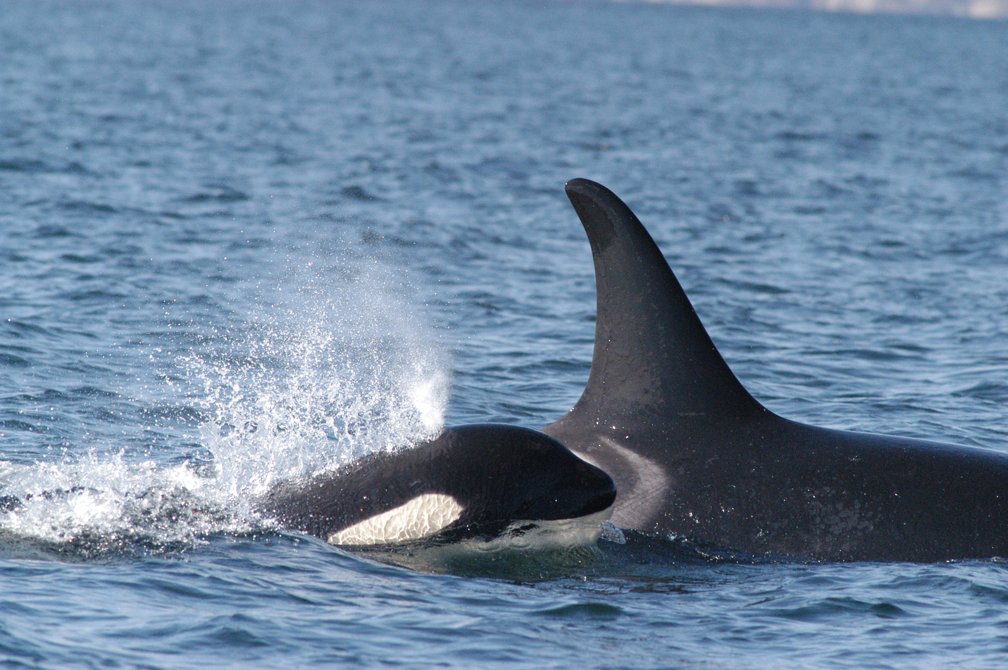 Canada S Latest Pipeline Could Drive Endangered Killer Whales To