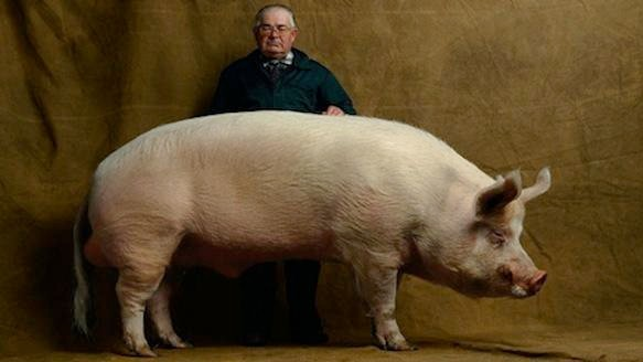 A Pig Named TJ Tabasco May Have Solved Our Organ Crisis