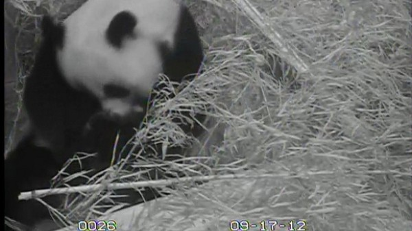 Can You Spot the Baby Panda in These Videos? (Update!)