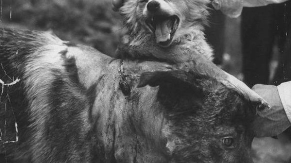 Soviet Scientists Made This Two-Headed Dog