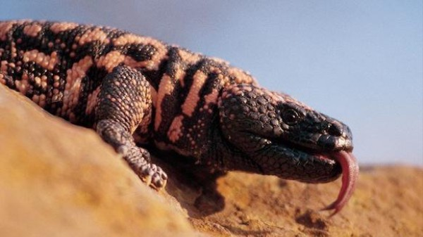 Next in Weight-Loss Fads: Gila Monster Spit