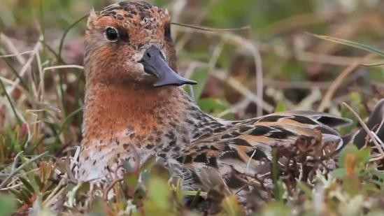 Video: Endangered Spoon-Billed Sandpiper Chicks Are Tragically Cute