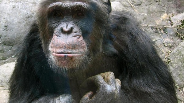 No More Chimps: The NIH Needs to Find New Test Subjects