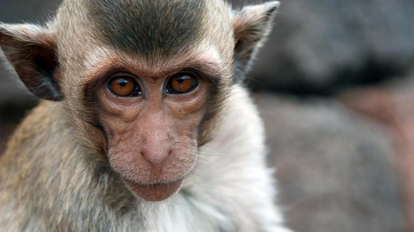 Monkeys Unconsciously Synchronize Their Behavior, Just Like Humans