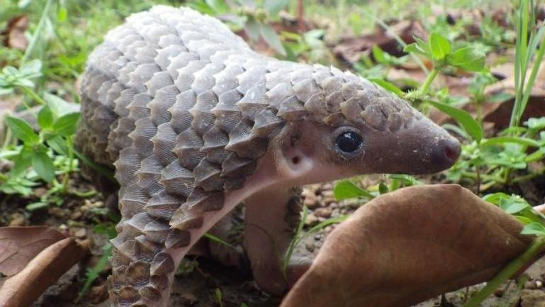 The Biggest Mammal Victim of the Wildlife Trade Is the Adorable, Endangered Pangolin