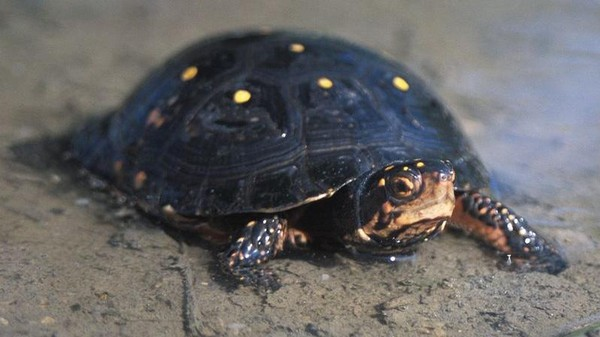 47 Turtle and Tortoise Species to Receive Greater Legal Protection