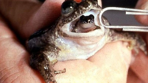 Scientists Create a Living Clone Embryo from a Long-Extinct Species of Mouth-Birthing Frog