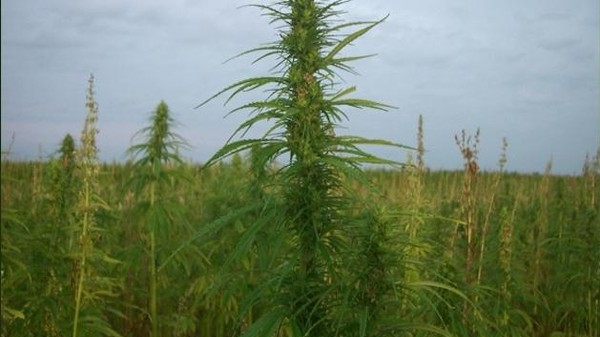 Vermont Farmers Could Soon Be Growing Hemp Legally