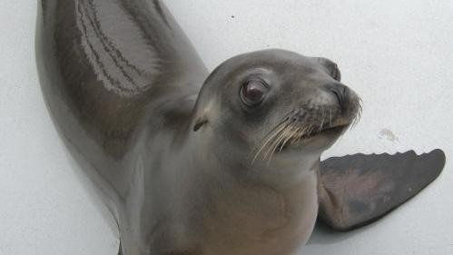 How a Disco-Loving Sea Lion Learned to Headbang