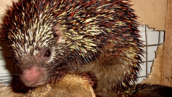 A New Species of Brazilian Porcupine Is Likely Endangered Already