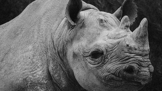 Why Did the US Allow a Hunter to Import a Banned Rhino Trophy?