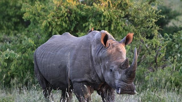 Why South Africa's Proposed Rhino Horn Auction Won't Work As Advertised