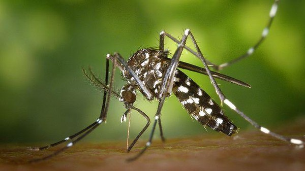 The Invasive Tiger Mosquito and West Nile Virus Are New Yorkers Now