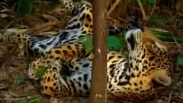 Here Is a Jaguar Tripping on Yage, the Ayahuasca Vine