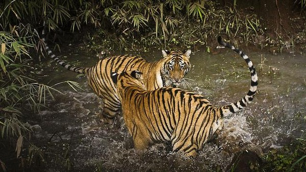 Tiger Conservation Efforts in India and Nepal Are Paying Off