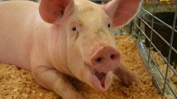 The Porcine Epidemic Diarrhea Virus Is This Summer's Shittiest Trend