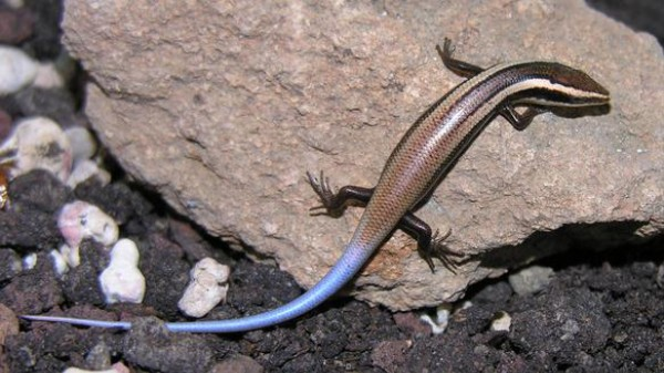 Newly-Discovered Caribbean Lizards Are Rad, But Also Probably Extinct