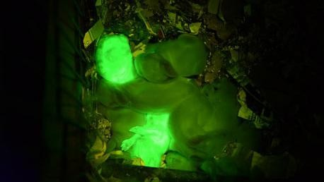 Turkish Scientists Used Jellyfish DNA to Breed Glow-in-the-Dark Rabbits