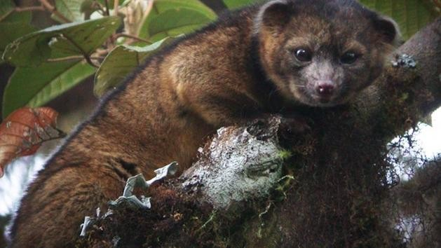 This Newly-Discovered Carnivorous Species Looks Like a Teddy Bear
