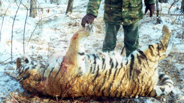 Sales of Siberian Tiger Parts on Russia's Internet Show Poaching Remains a Problem
