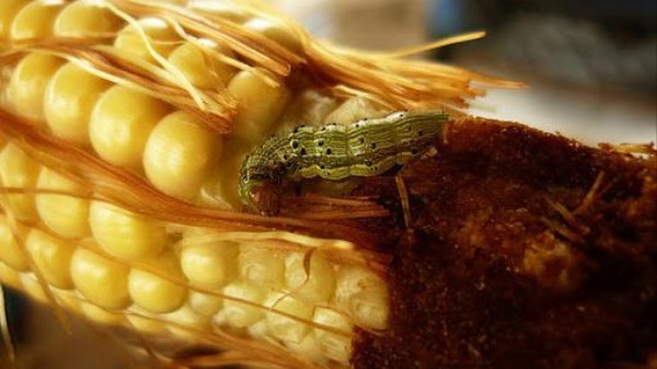 Can Green GM Crops Convince Enviro-Minded Consumers?