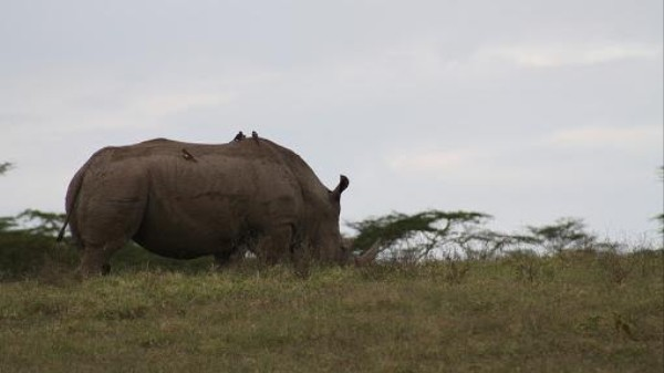 Will Kenya's Plan to Microchip Rhinos Deter Poachers?