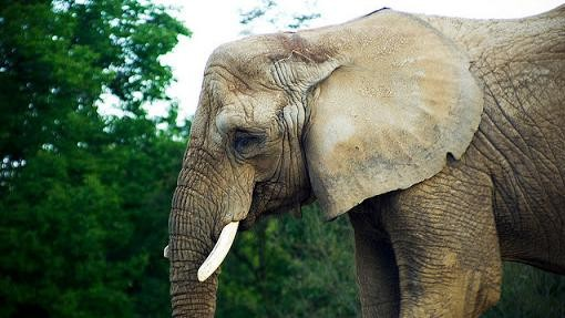 How Elephants Got PTSD