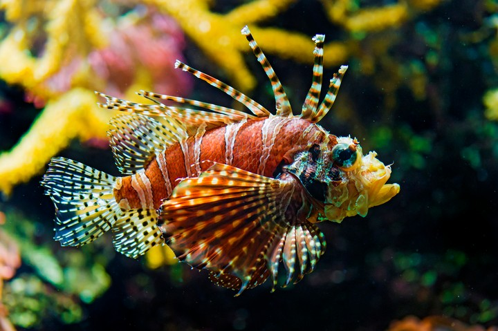 The US Government Wants You to Kill and Eat Invasive Lionfish