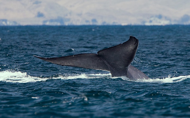 a study on the blue whale the largest mammal on earth The blue whale is the largest animal known to ever live on earth,  despite the  whale's size, scientists have trouble locating and studying the.
