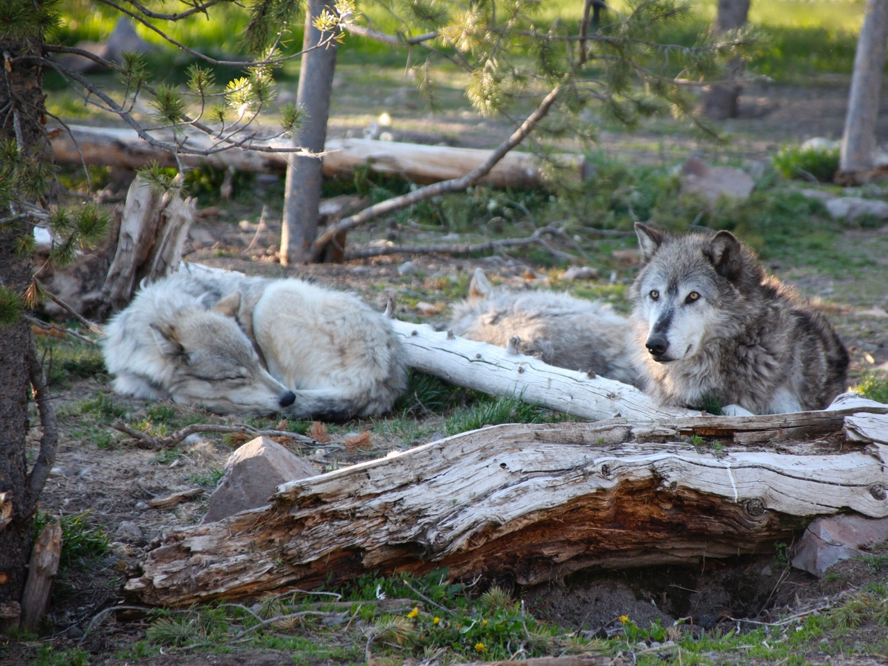Canis lupus 101: Thompson, Manitoba: #Wolf Capital of the World