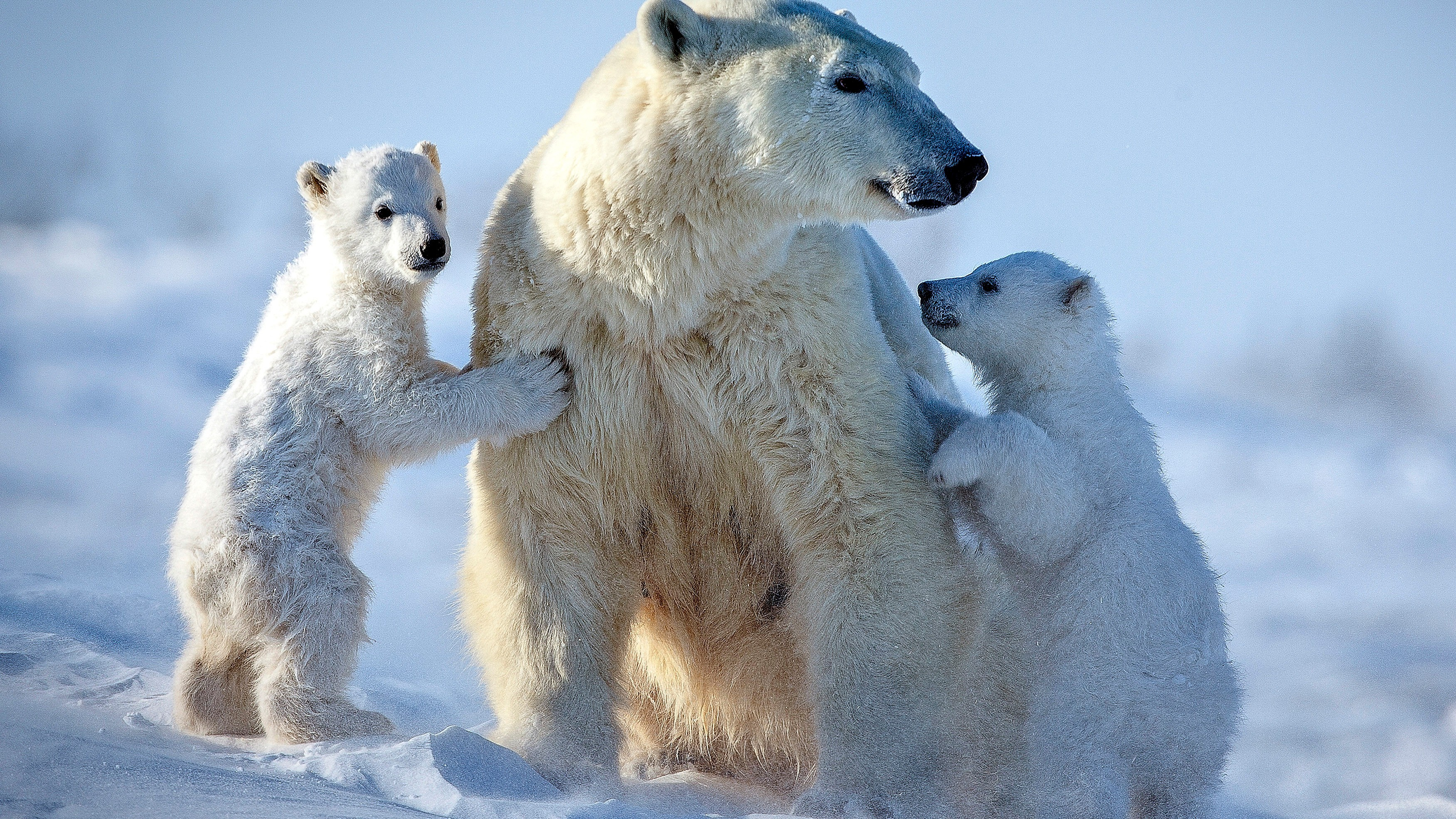 why does canada still allow hunters to kill polar bears for their
