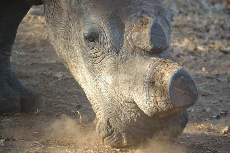 Dehorning rhinos: why there may be a case for doing it