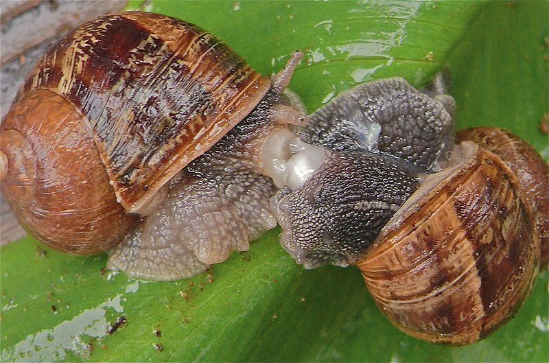 A Happy Ending For 'Jeremy' the Snail Whose Genitals Are ...