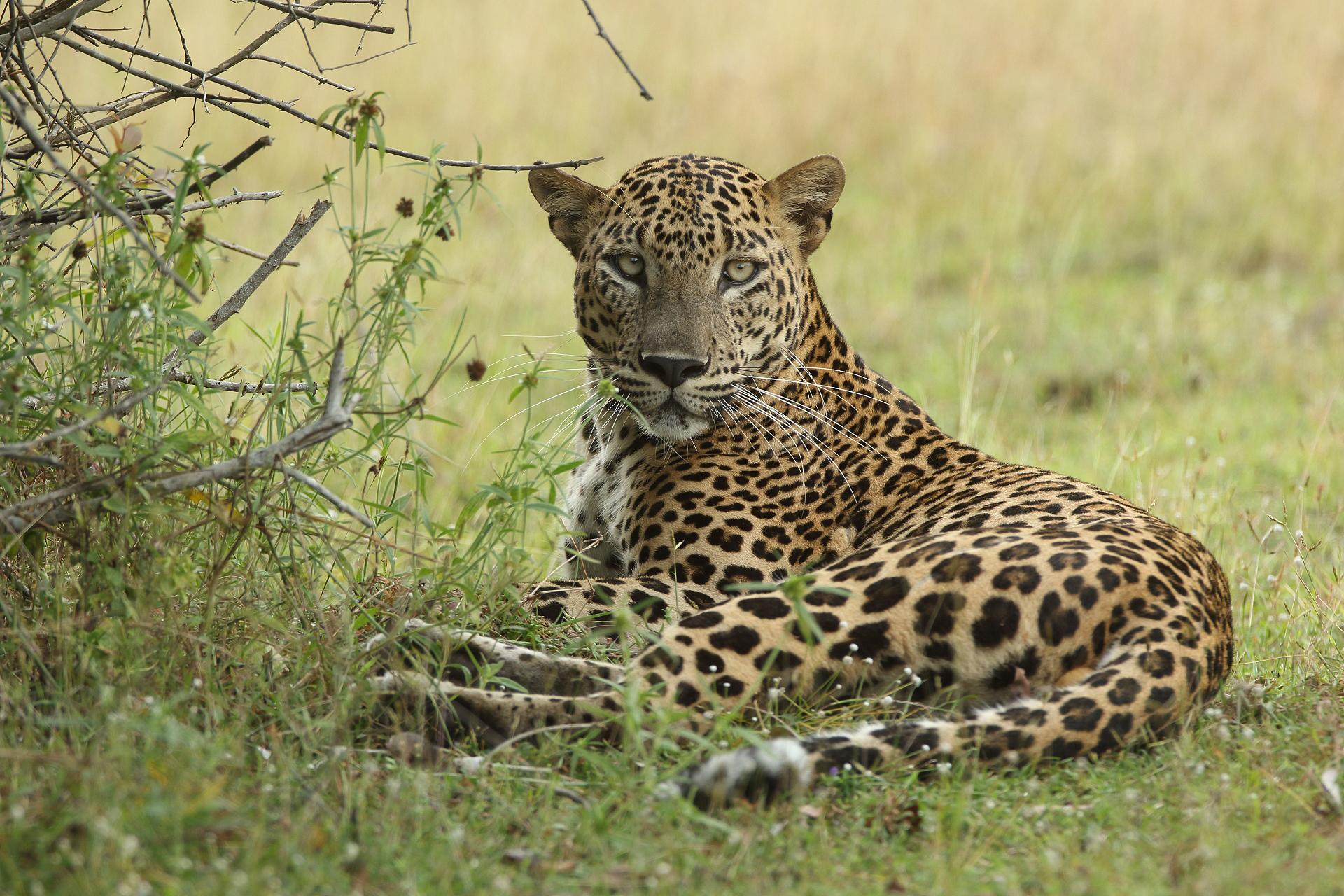 parambi leopard - HD1200×800