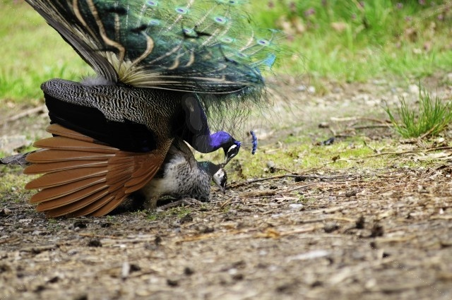 Intrasexual selection in peacocks
